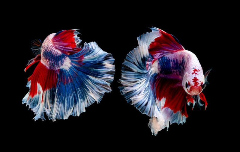 16 Jenis Ikan Cupang dan Tips Merawatnya