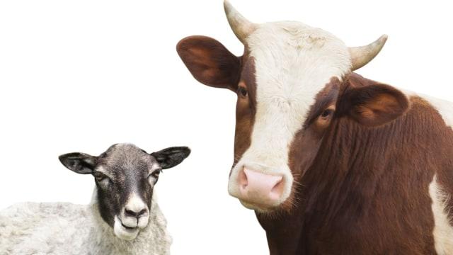 Perkiraan Modal untuk Usaha Ternak Hewan Sapi dan Kambing